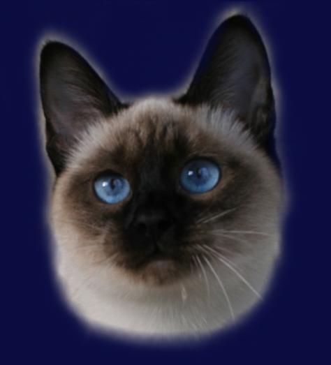Aime Ameliapl Hodowla Kotów Tajskich Koty Syjamskie Klasyczne