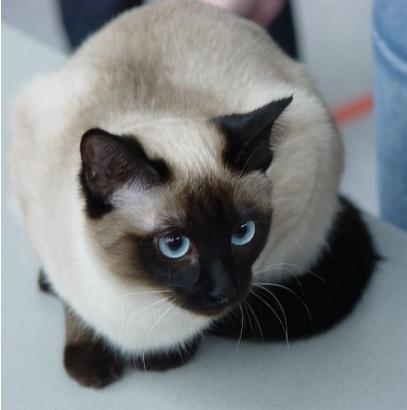 Kocięta W Nowych Domach Ameliapl Hodowla Kotów Tajskich Koty