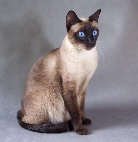 Amelia Ameliapl Hodowla Kotów Tajskich Koty Syjamskie