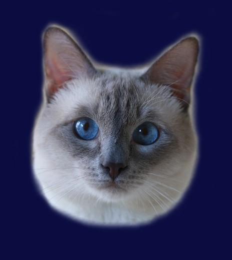 Kot Tajski Benjamin Ameliapl Hodowla Kotów Tajskich Koty