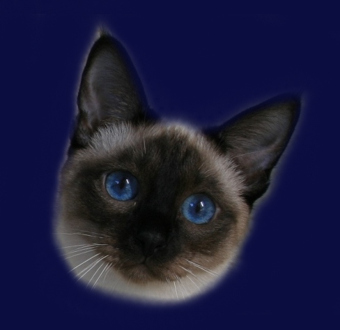 Cairo Ameliapl Hodowla Kotów Tajskich Koty Syjamskie