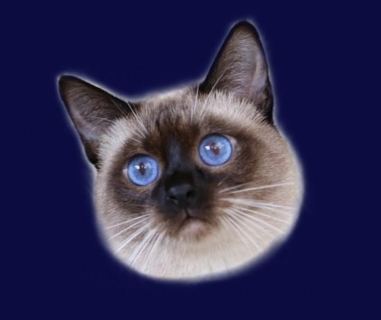 Kot Tajski Felicius Ameliapl Hodowla Kotów Tajskich Koty