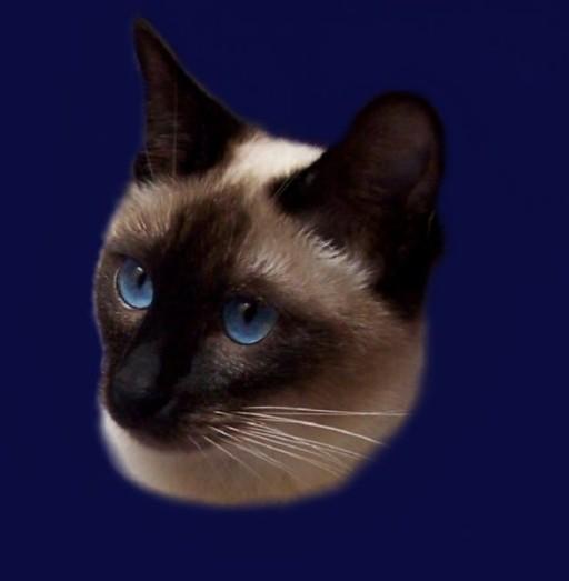 Haidi Ameliapl Hodowla Kotów Tajskich Koty Syjamskie