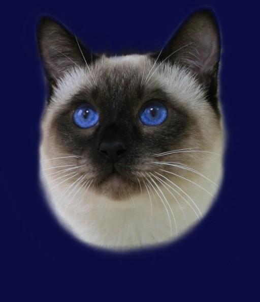 Kay Ameliapl Hodowla Kotów Tajskich Koty Syjamskie Klasyczne