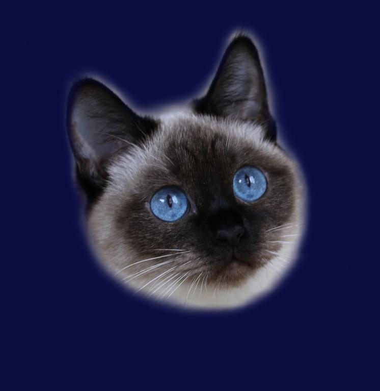 Kotka Tajska Keya Purczi Ameliapl Hodowla Kotów Tajskich Koty