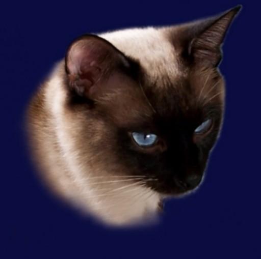Neelix Ameliapl Hodowla Kotów Tajskich Koty Syjamskie