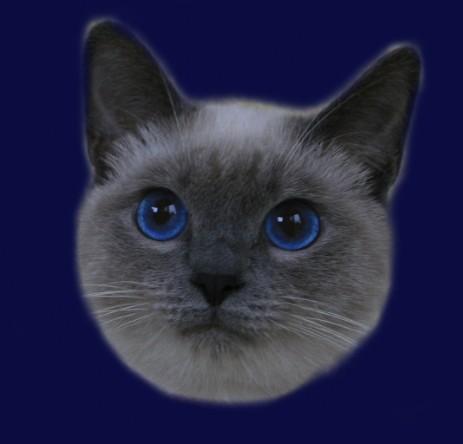 Kot Tajski Ticky Ameliapl Hodowla Kotów Tajskich Koty